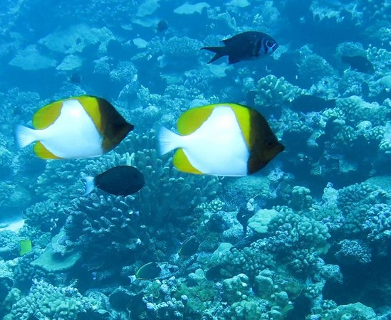 Top Dive, Bora Bora: pyramid butterflyfish