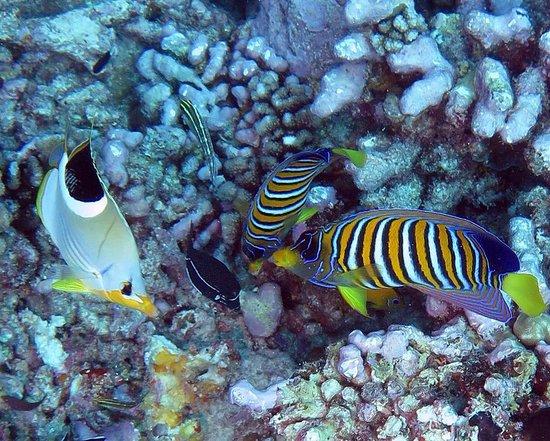 Top Dive, Bora Bora: regal angelfish