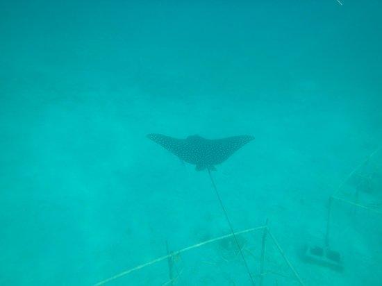 Tamarindo Beach: Rays