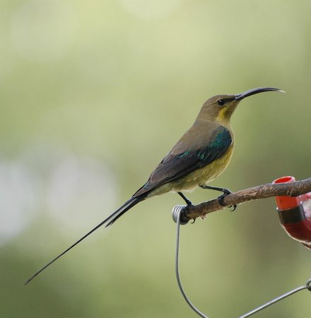 Rothman Manor : Female Malachite Sunbird