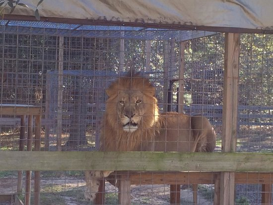 Carson Springs Wildlife Conservation Foundation : One of the male lions at Carson Springs