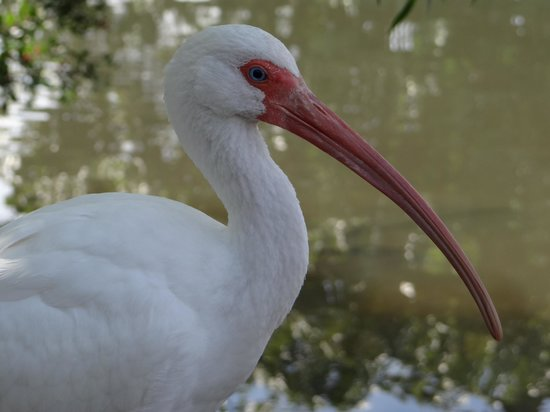 Gatorland : White Ibis