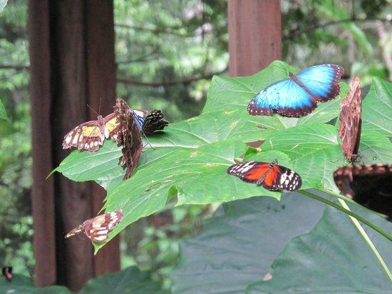 Mariposa Jungle Lodge: Butterfly ranch
