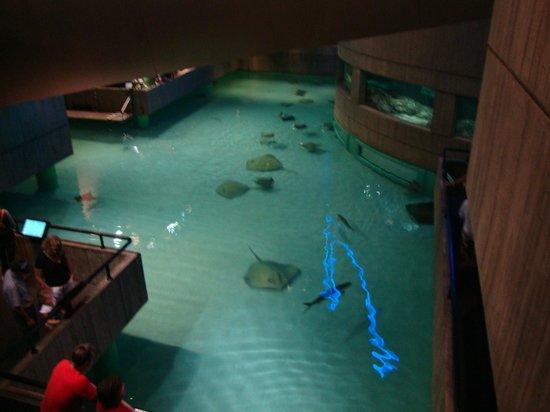 National Aquarium : Enorme aquário de Arraias