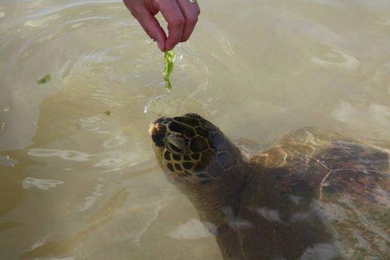 Marriott Ko Olina Beach Club: feeding LIMU to the turtles
