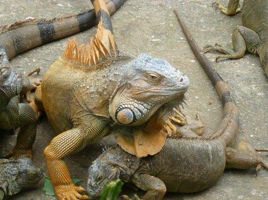 Island Marketing Ltd Roatan Cruise Excursions - Tours : Iguana Farm