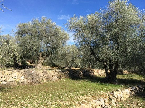 Opio France  City pictures : More olive trees Foto di Club Med Opio Provence, Opio TripAdvisor