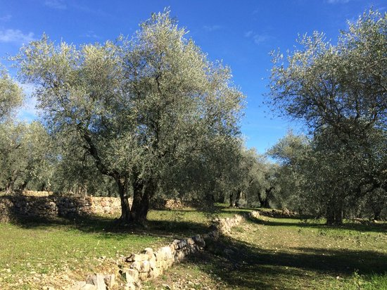 Club Med Opio Provence : In the olive grove