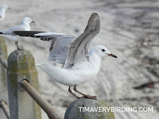Atlantic Affair Boutique Hotel: Hartlaub's Gull--you will see and hear them everywhere in the area.