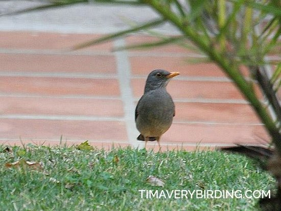 Ashdown House: Karoo Thrush in the courtyard