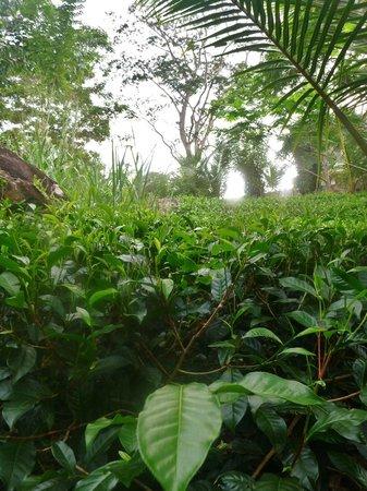 Niyagama House : Tea