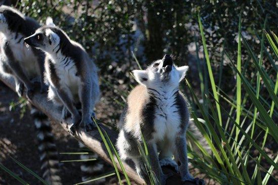 Safari Wilderness: Lemurs