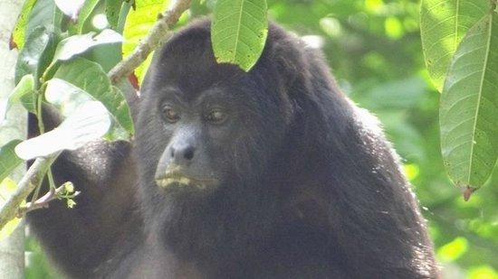 Aguateca : Mono aullador comiendo
