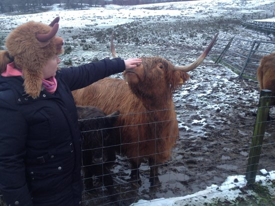 The Hairy Coo - Free Scottish Highlands Tour : Cathy the coo