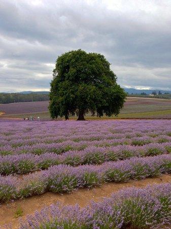 Bridestowe Lavender Estate: Old oak tree in lavender fields