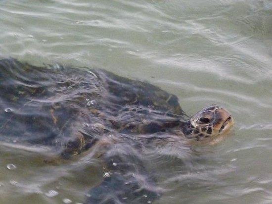 Napili Beach : Sea Turtle Sighting