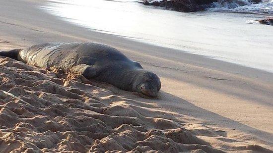 Napili Beach : Monk Seal Sighting