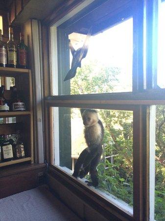 Monteverde Lodge & Gardens: Breakfast with White Face monkeys