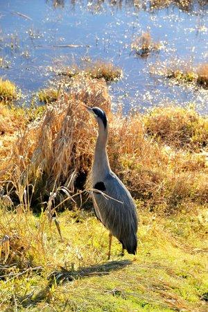 Nisqually National Wildlife Refuge: Heron