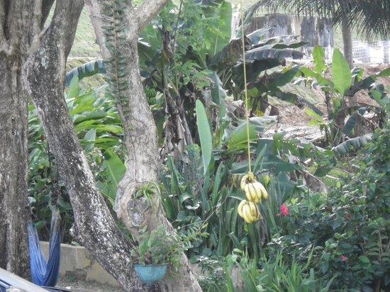 Ceiba Country Inn : fresh bananas