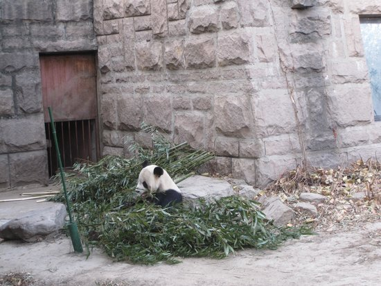 Beijing Zoo: giant panda bear