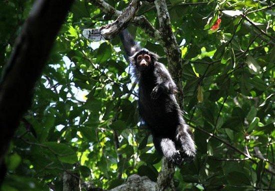 Potaro-Siparuni, Guyana: Squirrel monkey