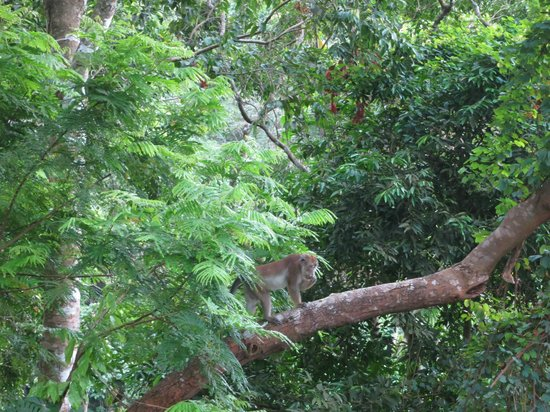 Sea n Jungle Resort: Monkeys visible from the front porch
