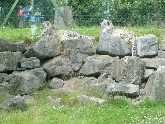Dublin Zoo: Snow Leopards