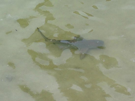 Tampa Electric's Manatee Viewing Center : Shark