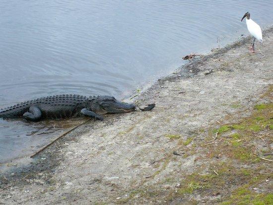 Myakka River State Park: An alligator on the shore