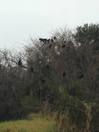 Myakka River State Park: Vultures in the trees