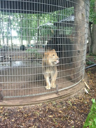 Maple Lane Wildlife Farm: Not much space for what appears to be a young, growing lion.