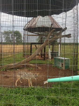 Maple Lane Wildlife Farm: Coyote housed in a corn crib with only a small box for shelter.