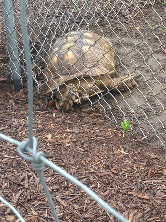 Maple Lane Wildlife Farm: Tortoise appears to be caught in the fence
