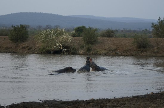 Camp Shawu : Hippos fighting in the morning