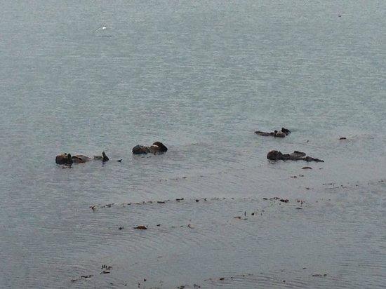 San Luis Bay Inn: Sea Otters
