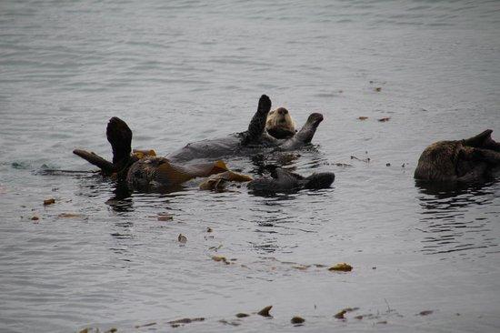 San Luis Bay Inn : Sea Otters