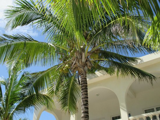 Casa Blanca Mata Grande: Palm tree with coconuts