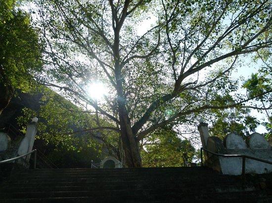 Bambaragala Viharaya : Boh Tree