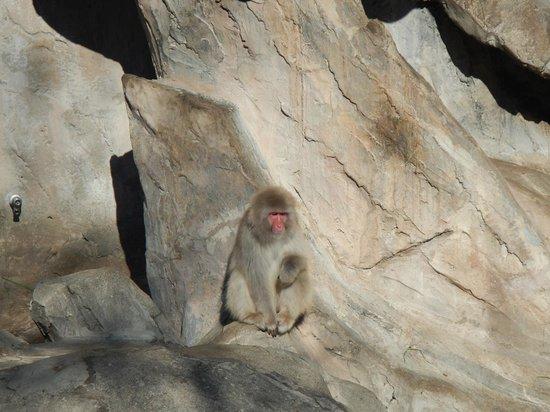 Ueno Zoo: Snow monkeys sans snow