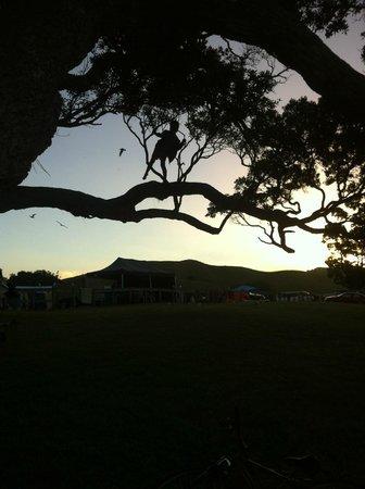 Otamure Bay (Whananaki) Campsite: Pohutakawa Trees