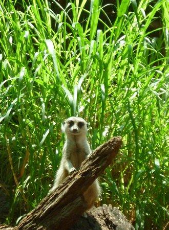 Perth Zoo : Meerkat