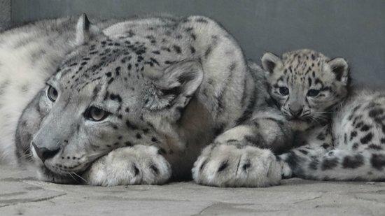 Zoo de Servion : Panthère des neiges