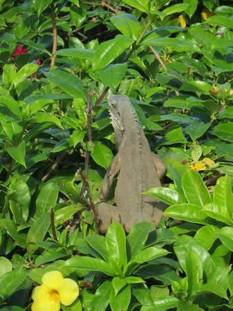 Grenadian by Rex Resorts : Cool Iguanas on the grounds