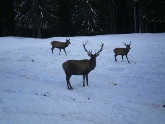 Parco Paneveggio - Pale di San Martino: cervi a Paneveggio