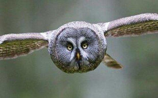 Nordic Safari Day Tours: Great Grey Owl/Strix Nebulosa