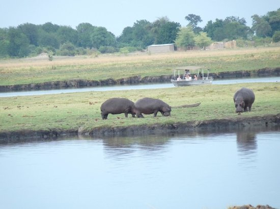 Sanctuary Chobe Chilwero : Hippos grazing