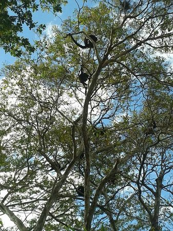 Buena Vista Surf Club: Families of Howler monkeys in nearby trees