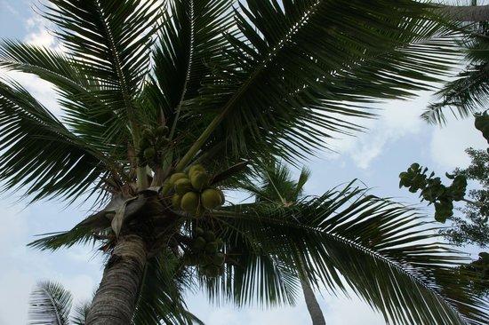 Seafarer Resort and Beach: Coconut Palms