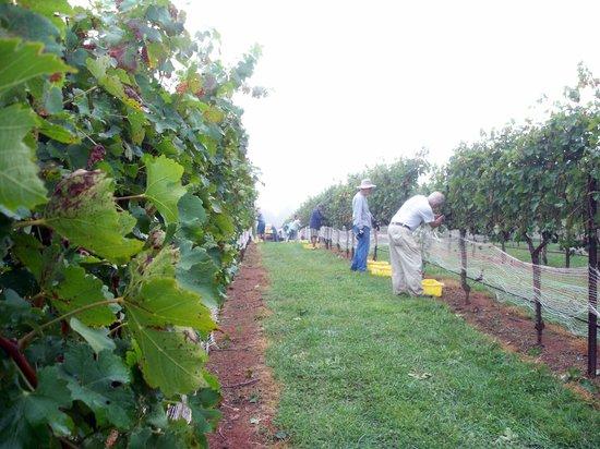 Daveste' Vineyards : Harvest time picking grapes at Davesté Vineyards